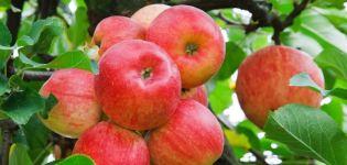 Вишня фея: описание сорта и характеристики, особенности выращивания и ухода
