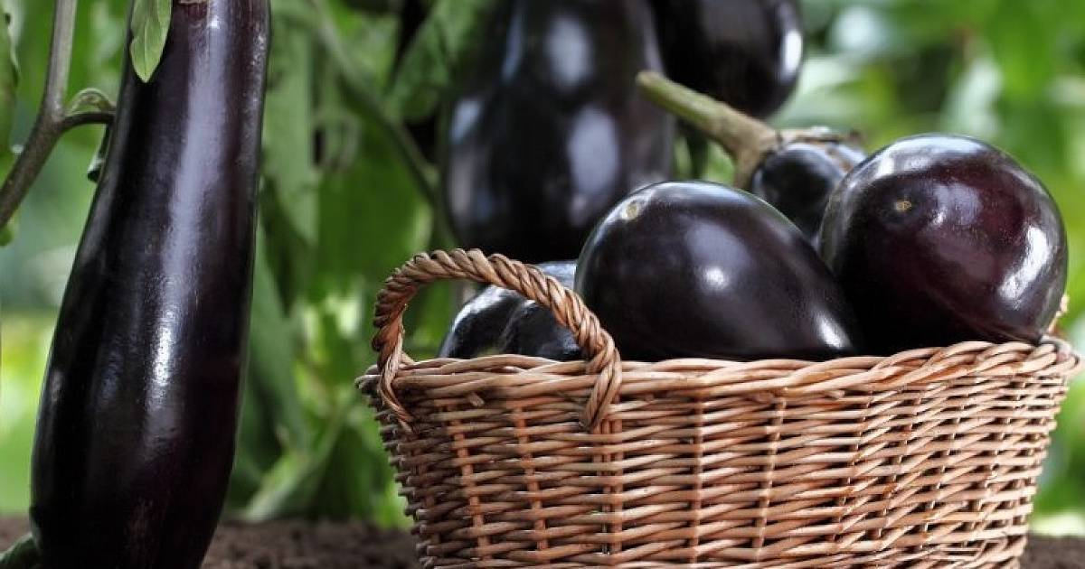 Крупноплодный универсал — баклажан бернар f1