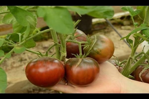 Диетический томат с фруктовым вкусом черная лакомка f1: детальное описание, агротехника, отзывы