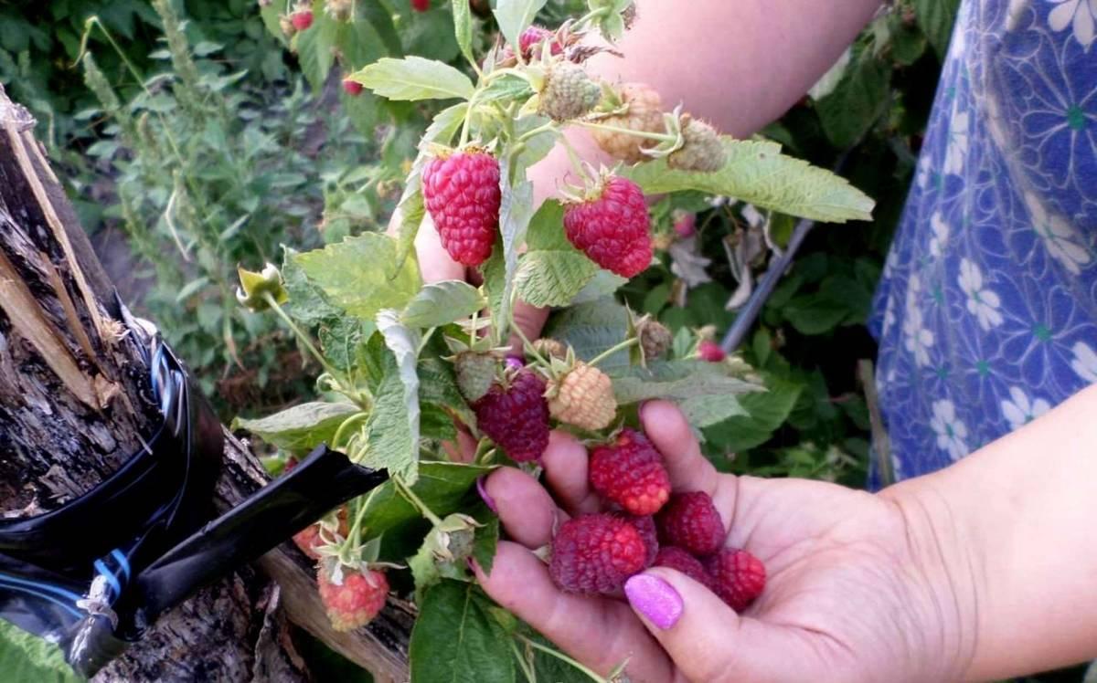 Как посадить и вырастить малину сорта «джоан джей (джи)»