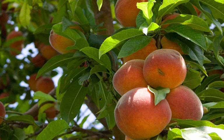 Колоновидные персики: описание лучших сортов с фото и названиями