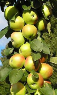 Какие сорта колоновидных яблонь выбрать для разных регионов россии