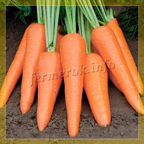Морковь абако: характеристика и описание, отличие от других видов и похожие сорта, достоинства и недостатки, а также особенности выращивания и ухода