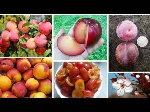Чем отличается сорт сливы персиковая