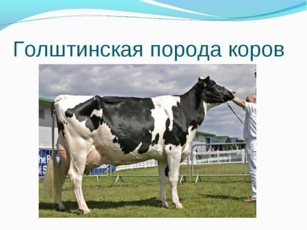 Характеристика голштинской породы коров: плюсы и минусы