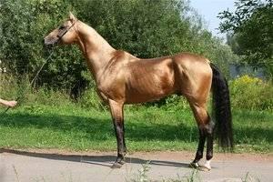 Ахалтекинская порода лошадей: история происхождения, экстерьерные особенности, содержание