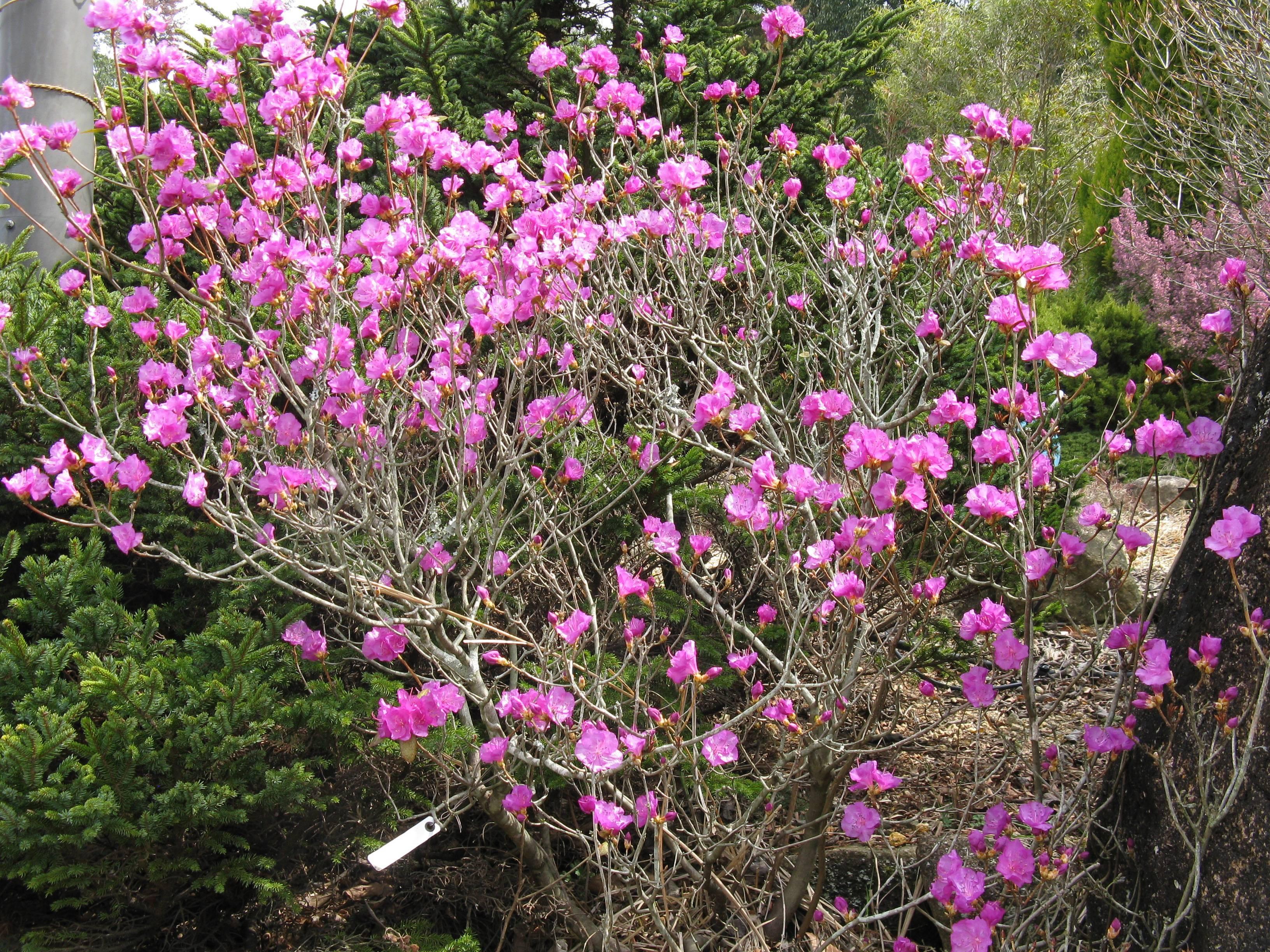Ухаживание за азалия японская (rhododendron obtusum)