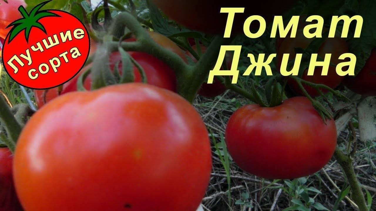 Характеристика и описание сорта томата джина: 7 показателей
