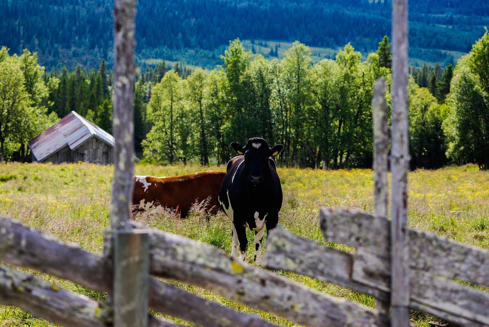 Рацион коровы на день в таблицах