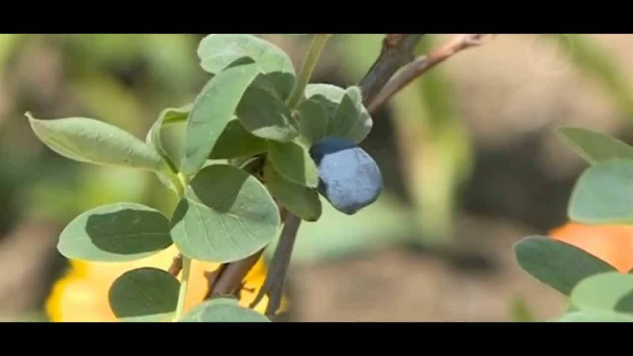 Разрешены ли плоды жимолости при грудном вскармливании?