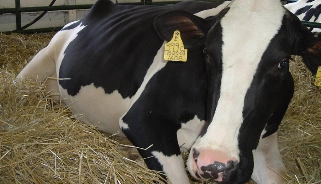 Как лечить мастит у коровы