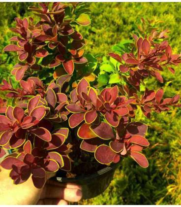 Барбарис тунберга — описание сортов растения