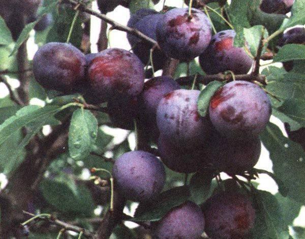 Слива тульская чёрная – гармония вкуса и простота агротехники из тулы