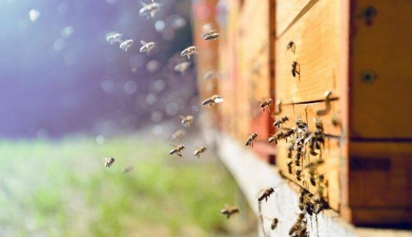 Работы с пчелами в августе: на пасеке, подкормка. лечение