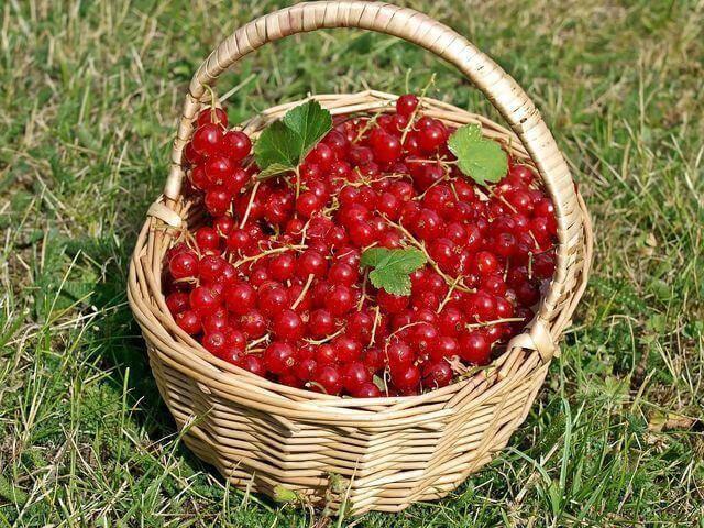 Красная смородина мармеладница: характеристика сорта и особенности выращивания