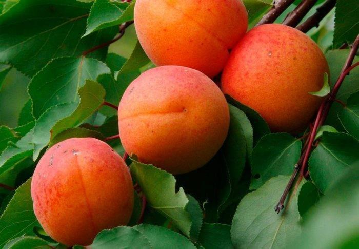Как правильно подкармливать абрикос?