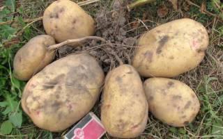 Обзор 10 самых урожайных сортов картофеля: описание и характеристики