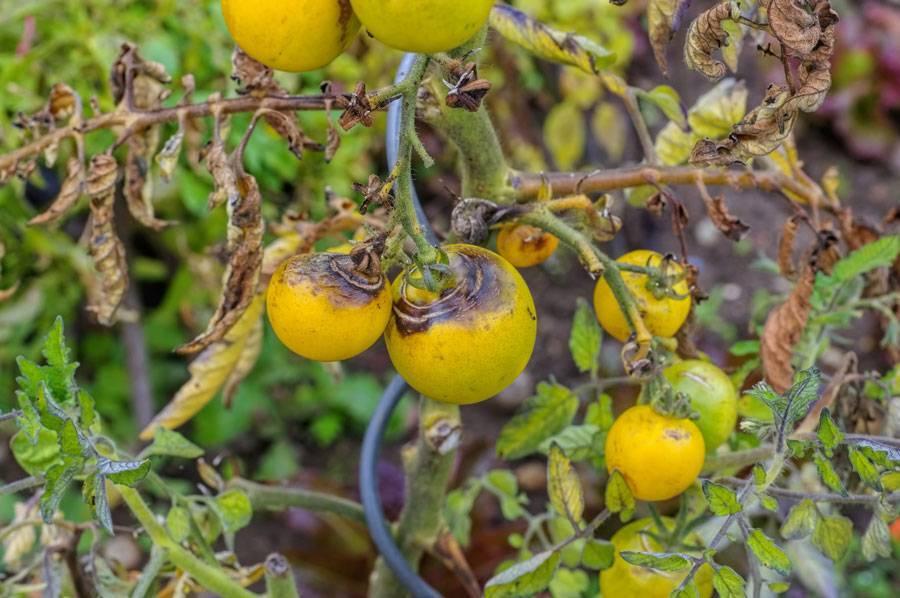 Фитофтора на помидорах в теплице – как бороться?