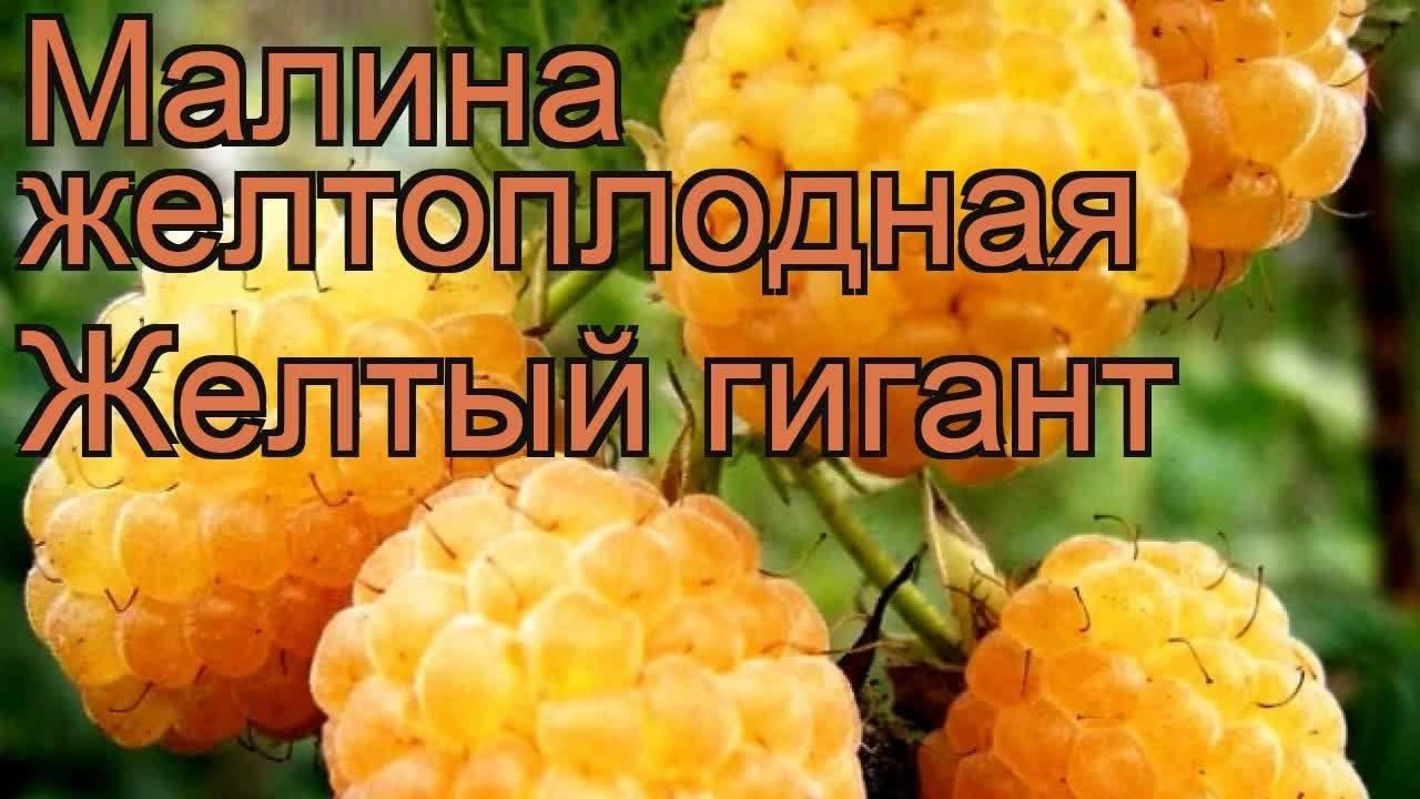 Малина сорт желтый гигант