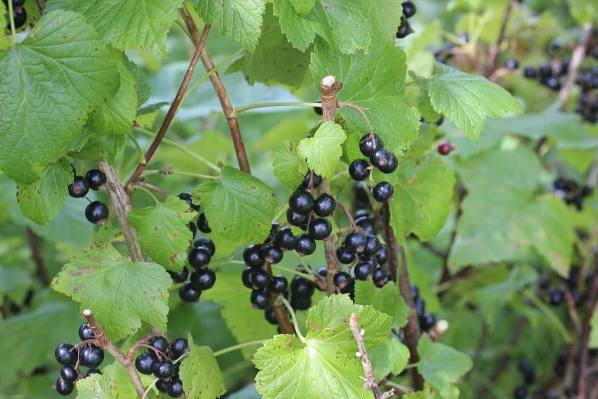 Особенности черной смородины «деликатес»