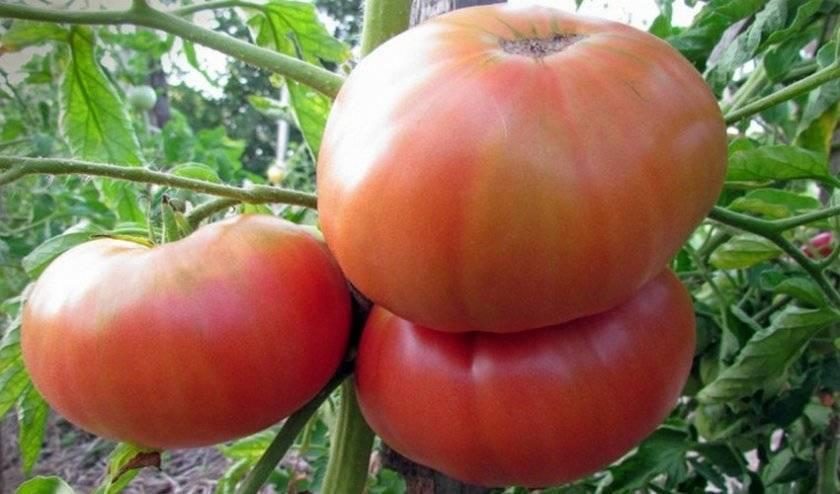 Раннеспелый и крупноплодный сорт томата «гордость сибири» для сурового климата: описание, характеристика, посев на рассаду, подкормка, урожайность, фото, видео и самые распространенные болезни томатов