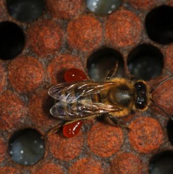Чем опасен расплод пчел: симптомы и признаки его возникновения