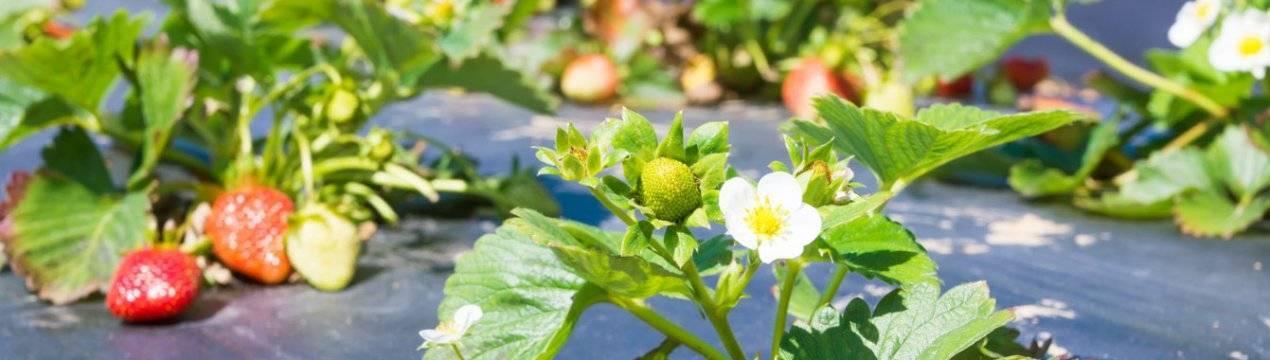 Чем подкормить жимолость ранней весной до цветения?