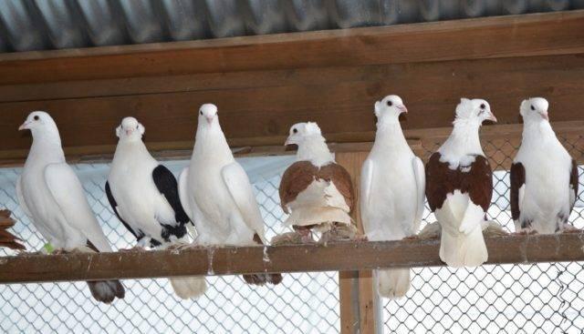 Описание породы андижанские голуби