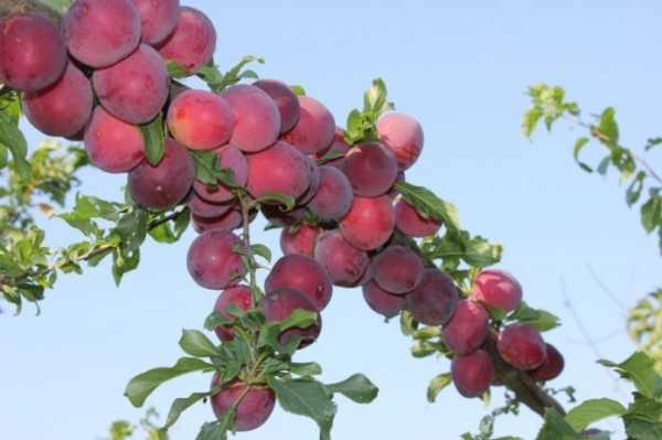 Алыча розовая — описание сорта, фото и отзывы садоводов