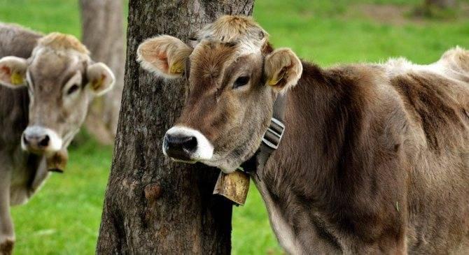 Что делать, если у коровы появились кровяные выделения: диагностика заболевания, правила лечения