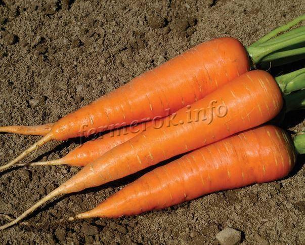 Морковь семена: лучшие сорта, отзывы и описание, поздние и ранние для открытого грунта