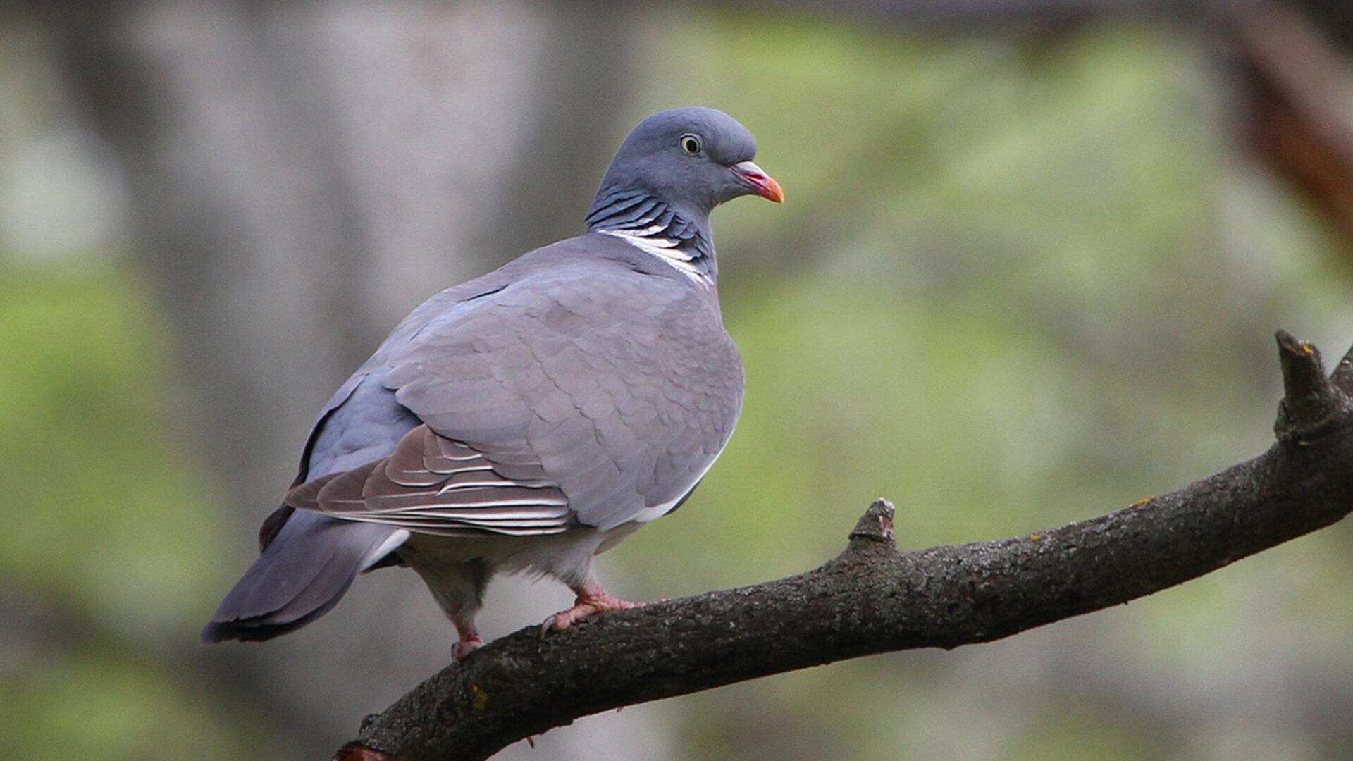 Птица вяхирь — дикий лесной голубь