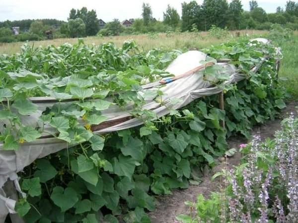 Уход за тыквой в открытом грунте: прищипывание и формирование