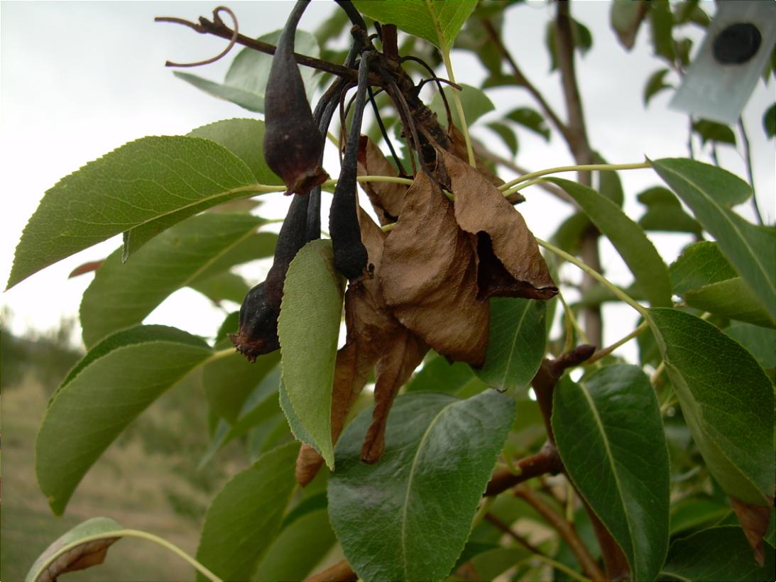 Почему чернеют груши на дереве: методы борьбы