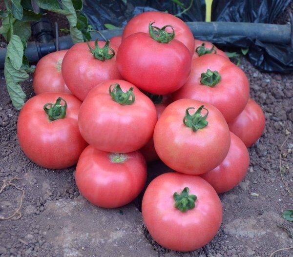 """""""малиновое чудо"""" - описание томатов и отзывы садоводов. жми!"""