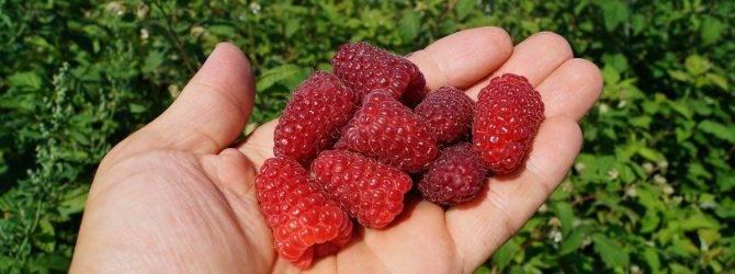 Ремонтантный сорт малины карамелька: как вырастить хороший урожай