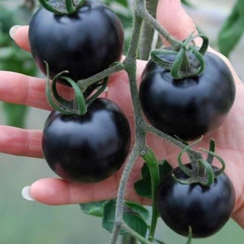 Технология выращивания томата «индиго роуз» для новичков и опытных фермеров