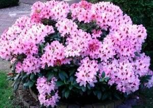 Уход осенью и подготовка рододендрона к зиме