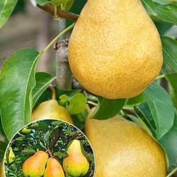 Описание груши сорта феерия: характеристики, фото, видео, отзывы садоводов