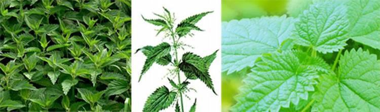 Крапива: свойства и противопоказания, выращивание и применение