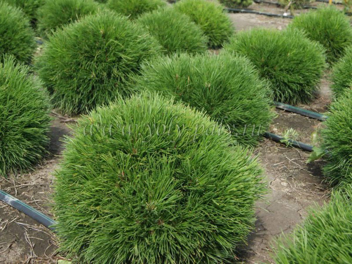 Декоративные сосны для сада - условия выращивания, размножение из семян, проблемы в уходе