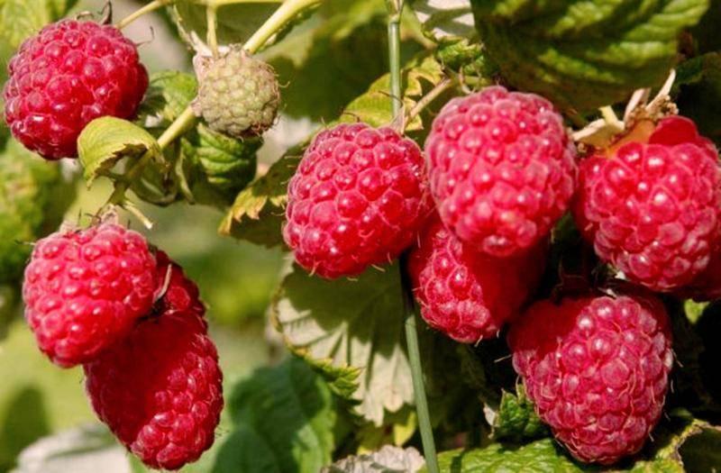 Малина сорта атлант: характеристика, особенности выращивания
