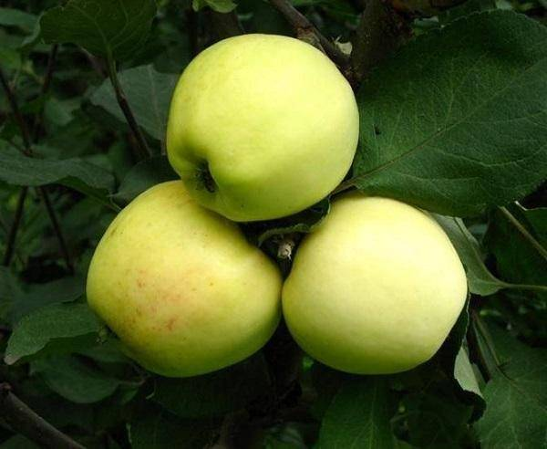 Особенности сорта яблони «пепин шафранный»