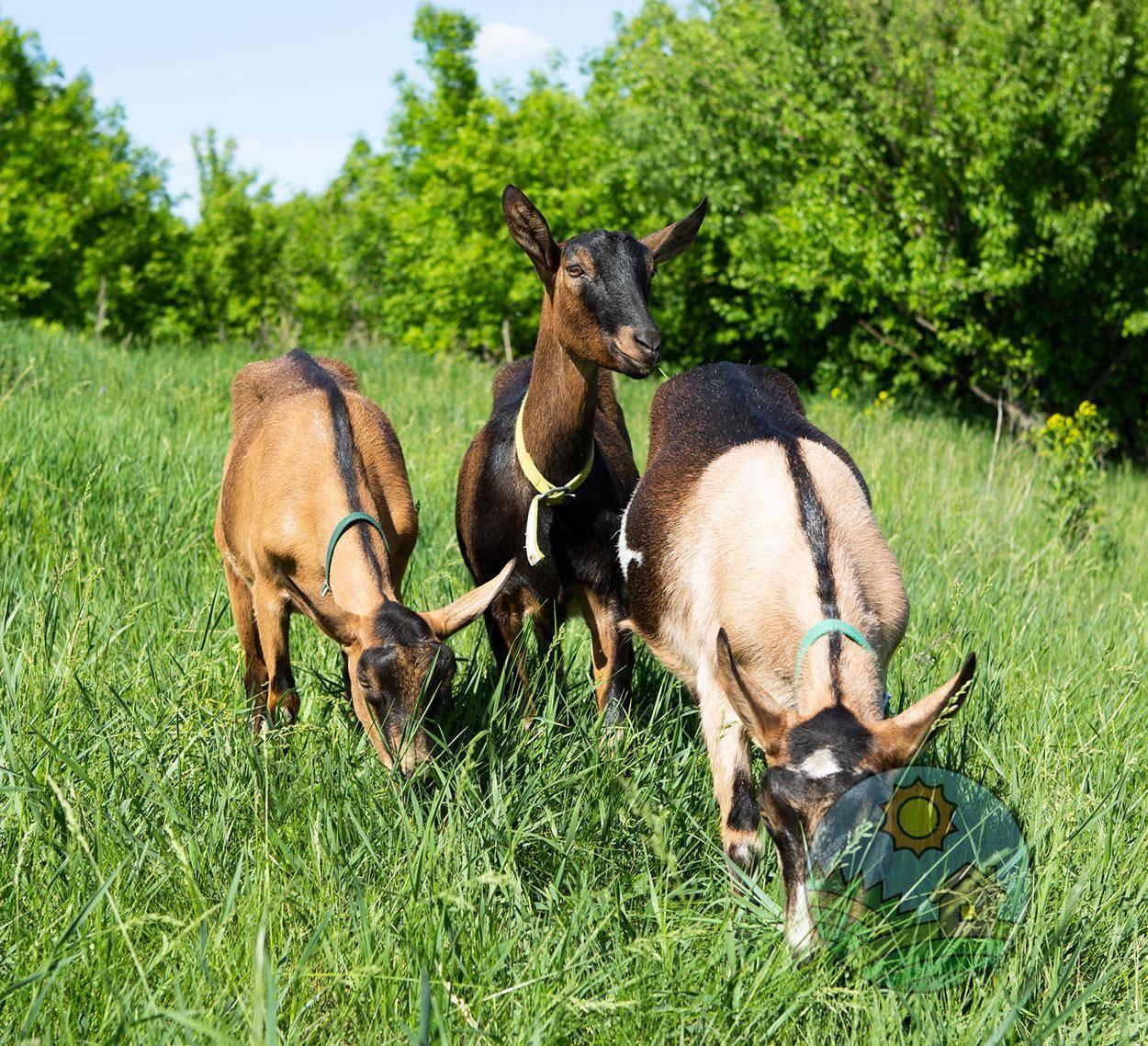 Альпийские козы: описание породы, фото, особенности содержания и разведения