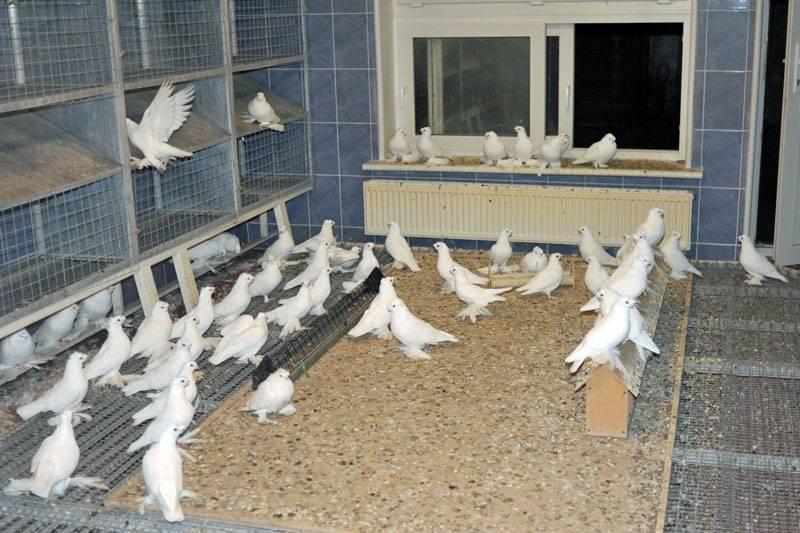 Продажа голубей крестовые монахи