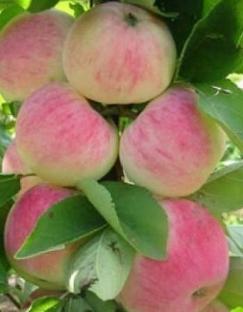 Яблоня россошанское полосатое