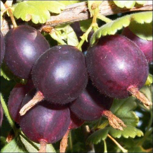 Новый сорт крыжовника шершневский — внешний вид и характеристики сорта