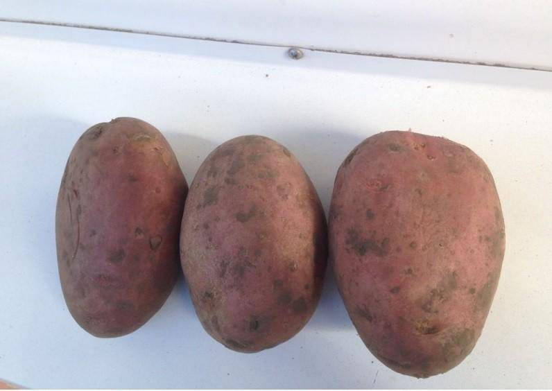Неприхотливый, но урожайный сорт красного картофеля лабелла