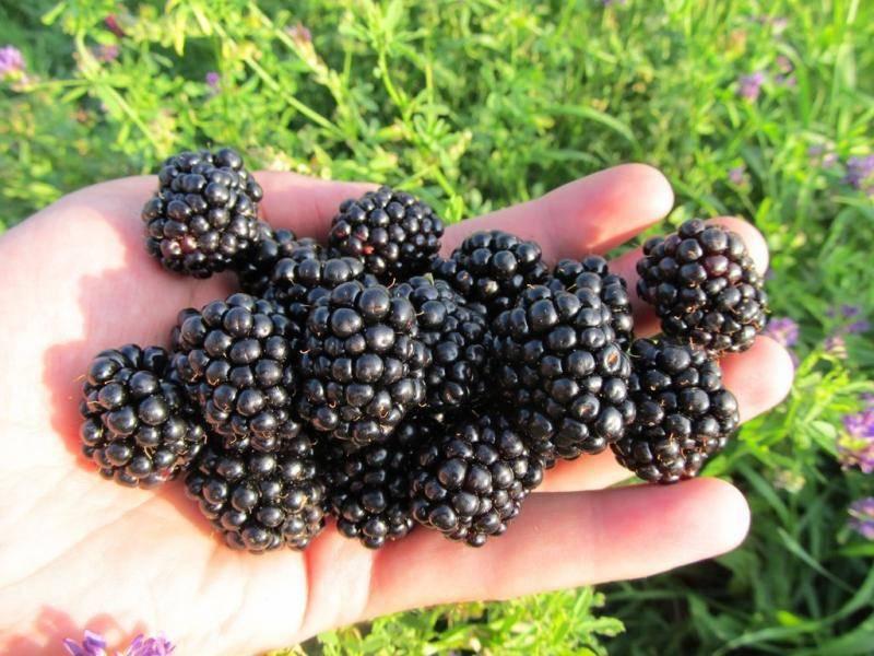 Ежевика лохтэй — описание сорта, характеристика, выращивание, фото и отзывы