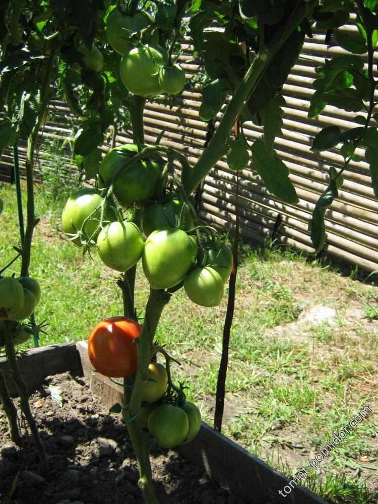 Созревание адамово яблоко